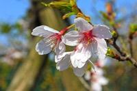 サクラ(玉縄桜)
