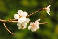 サクラ(冬桜)